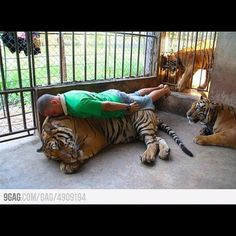 This dude is planking on a tiger? What is planking you may ask? Laying your face. Stupid People, Crazy People, Strange People, Darwin Awards, Demotivational Posters, Planking, Funny Photos, Meme Pictures, Daily Pictures