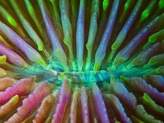 Ok...is there some sort of hidden blacklight below sea level? ;) The mushroom coral uses this amazing Technicolor mouth to  feast on something no other coral is known to favor—adult jellyfish.  It's thought that the corals simply wait for jellies to run into them,  then snare them with stinging tentacles and shove them into their  mouths. Unlike reef-building corals, mushroom corals—among the world's  biggest polyps at up to 12 inches (30 centimeters) wide—live as  individuals.