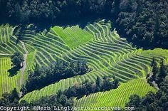 hillside vineyard, Nappa Valley, California