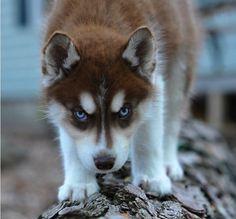 Red Siberian Husky