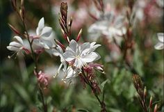 Gaura lindheimii `Whirling Butterflies` | VASTE PLANTEN | Tuinplanten stekplek