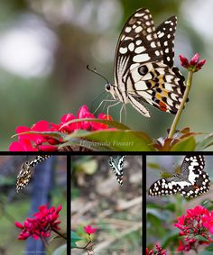 hunting...the butterfly - Hispaniola FineArt