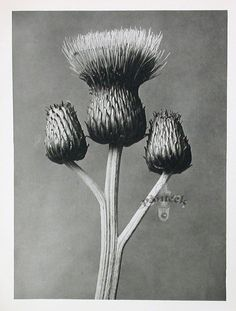 Find the latest shows, biography, and artworks for sale by Karl Blossfeldt. A teacher at the Royal Arts Museum in Berlin, Karl Blossfeldt became a celebrated… Karl Blossfeldt, Illustration Simple, Botanical Illustration, Max Ernst, Macro Photography, White Photography, Flower Photography, School Photography, Vintage Photography