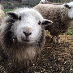 An expression usually reserved for guinea pigs. Farm Animals, Animals And Pets, Funny Animals, Cute Animals, Beautiful Creatures, Animals Beautiful, Wooly Bully, Sheep Breeds, Photo Animaliere