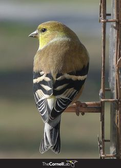 """Beneath the outer feathers that give the goldfinch its color and shape (its """"contour feathers"""") are thick down feathers. When cold, a goldfinch can raise those feathers as we loft a down sleeping bag, to increase the insulation value. Learn more here: http://info.allaboutbirds.org/evergreen_birdnotes-winter-bird-feeding"""