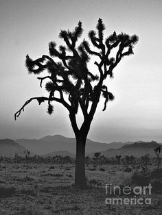 If it's good enough for #U2, it's good enough for me: a perfect Joshua Tree.  Check it out and the rest of the 'Joshua Tree' gallery.  http://toula-mavridou-messer.artistwebsites.com/featured/new-photographic-art-print-for-sale-joshua-tree-at-sunset-black-and-white-toula-mavridou-messer.html