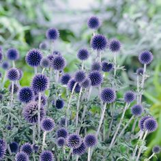 BulbsDirect - Your Online Garden Center for Flower Bulbs and Perennial Plants Direct from Holland - Echinops ritro Veitchs Blue - 1 plant Home Flowers, Bulb Flowers, Dried Flowers, Purple Flowers, Exotic Flowers, Yellow Roses, Pink Roses, Herbaceous Border, Herbaceous Perennials