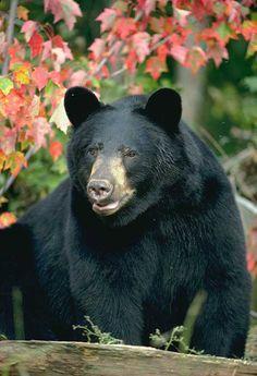 North American Bear Center - Black Bear Show