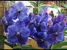 Truques Infaliveis Para Fazer Sua Orquidea Phalaenopsis Florir MUITO - YouTube