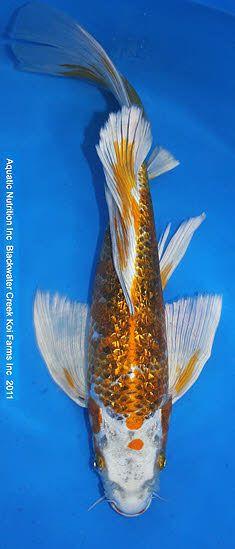 Kujaku  Butterfly Gin Rin Koy Fish, Butterfly Koi, Goldfish Pond, Koi Art, Fishing World, Salt Water Fish, Pond Life, Japanese Koi, Fish Ponds