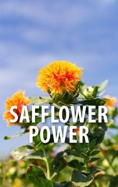 Dr Oz explained the super powers of Safflower, available as Safflower Oil, as well as in a tea or supplement form, for heart health and fat burning. https://www.recapo.com/dr-oz/dr-oz-product-reviews/dr-oz-safflower-supplement-belly-fat-remedy-safflower-tea-review/