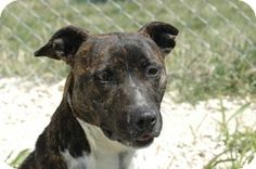 Bullboxer Pit dog for Adoption in Justin , TX. ADN-486694 on PuppyFinder.com Gender: Female. Age: Adult