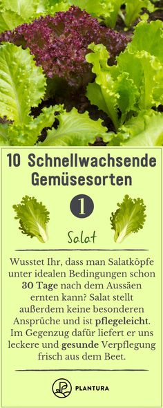 10 schnellwachsende Gemüsesorten 10 fast-growing vegetables – salad: salad can be harvested after 30 days. Moreover, it is easy to clean and can be grown in the raised bed. You can find our top 10 fast-growing vegetables here at Plantura. Fast Growing Vegetables, Planting Vegetables, Fruits And Veggies, Hydroponic Gardening, Organic Gardening, Vegetable Salad, Vegetable Garden, Balcony Plants, Weed Seeds
