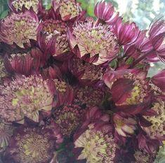 Wax Flowers, Types Of Flowers, Large Flowers, Dried Flowers, Pink Flowers, Astrantia Flower, Poison Garden, Diy Wedding Flowers, Flower Diy