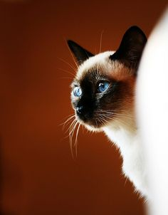 #cat #Siamese