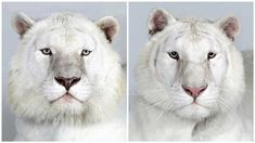Dr. Bhagavan Antle of The Institute of Greatly Endangered and Rare Species (T.I.G.E.R.S), photographs 4 varieties of Bengal tigers. - Imgur