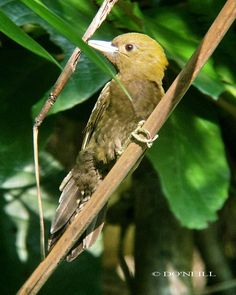 Bamboo Woodpecker Gecinulus viridis - Google Search