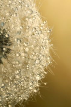 """""""Sun Sparkled Dandy"""" by Sharon Johnstone. I like this one, it's got a different look than most dandelion pictures with the water droplets."""