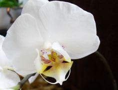 Fehér lepke orchidea