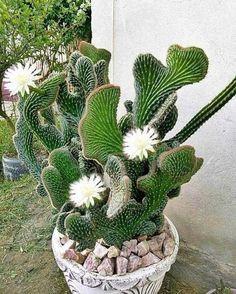 #Ideas #Plant #Plants #Unique #Unusual #unusual  | 1000 Unusual Plants, Exotic Plants, Cool Plants, Exotic Flowers, Beautiful Flowers, White Flowers, Succulent Terrarium, Cacti And Succulents, Planting Succulents