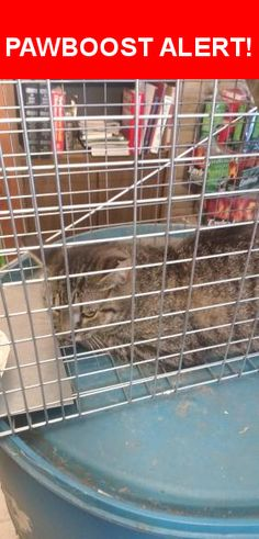 Is this your lost pet? Found in Beavercreek, OH 45440. Please spread the word so we can find the owner!  Gray And black tiger/tabby  Near Barrymore Ln & Merrydale Dr