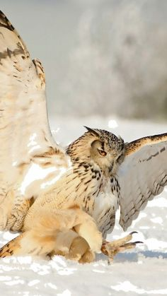 * * OWL: Lift-off beez difficult in suckish snow. Beautiful Owl, Animals Beautiful, Cute Animals, Owl Bird, Pet Birds, Owl Photos, Tier Fotos, Mundo Animal, Birds Of Prey