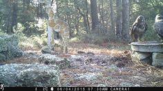 Wild Wood en Provence: buzzards and a fox