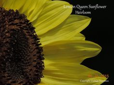 Lemon Queen Sunflower Seeds