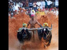 Kambala ! A Traditional Celebration in Rural Karnataka,Inida