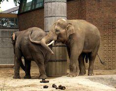 Berlin Zoological Garden, Saksa [Berlin Zoological Garden, Germany] Elephas Maximus, Zoological Garden, Asian Elephant, Berlin Germany, Picture Video, World, Zoos, Aquariums, Pictures