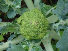 Parece que el brócoli está saliendo bien, a ver qué tal va. El año pasado enseguida florecía, no nos daba tiempo a recoger cogollos grandes.