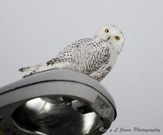 Snowy Owl  (C) Copyright Ricky L.Jones 1995-2012 All rights reserved.