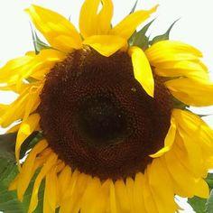 Sunflower growing in the Heartland Harvest Garden