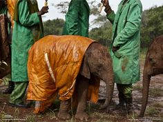 Baby elephants get raincoats.  Rehabilitation project at the Nairobi Elephant Nursery in Kenya. Precious!