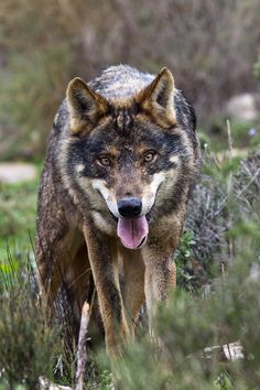 Iberian wolf ~ I´m looking to you by Javier Abad