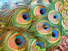 Beautiful Peacock feathers.