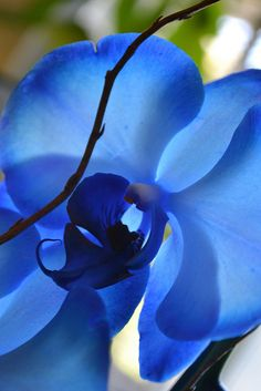 Love blue orchids, but they are hard to find naturally.lots of dyed ones out… Exotic Flowers, Amazing Flowers, My Flower, Beautiful Flowers, Colorful Roses, Orchid Flowers, Beautiful Beautiful, Blue Orchids, My Secret Garden