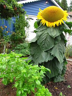 kids would love growing these giant sunflowers in their gardens.