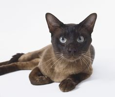 Siamese Cats Facts Tonkinese Cat Breed Information, Pictures, Characteristics Selkirk Rex, Ragamuffin, Sphynx, Maine Coon, Siamese Cats, Cats And Kittens, Cool Cats, Domestic Cat Breeds, Best Cat Breeds