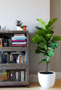 カシワの葉っぱを思わせる大きな葉が魅力のカシワバゴムノキ。英語ではこの葉がバイオリンに似ているとして、Fiddle Leaf Fig (フィドルリーフ・フィグ)と呼ばれています。枝が広がらず縦に伸びていくので場所を取らないため、テレビボードや本棚の横などに空いた空間を埋めるのに最適です。