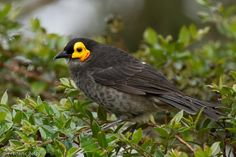 Common Smoky Honeyeater (Melipotes fumigatus) A bird perched in a small bush (the head becoming red)