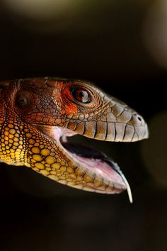 This is the Northern Caiman Lizard (Dracaena guianensis) A long, powerful tail helps the Caiman Lizard to swim and dive while a clear third eyelid acts like a pair of swim goggles underwater. They're fairly large, growing to around 4 ft in length and reaching an average weight of 10 lbs.