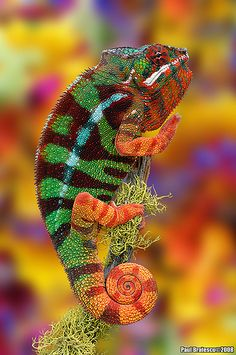 Rainbow Chameleon .......... When I die, I want to come back as a really cool chameleon.