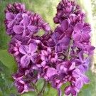 Lilacs - a requirement in my yard