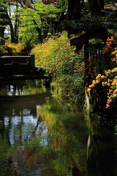 京都 松尾大社 一ノ井川 山吹 ヤマブキ Matsuo-taisha shrine, Ichinoi river, Kerria - Kyoto, Japan