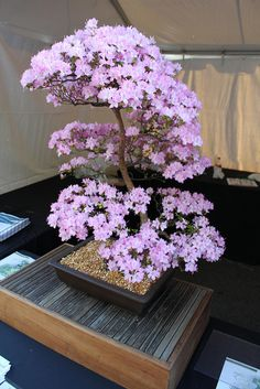 Bonsai flower plants are the miniature trees that are grown in containers as a form of Japanese art. Bonsai trees give much pleasant look to interiors. Ikebana, Bonsai Azalea, Bonsai Plante, Miniature Trees, Bonsai Garden, Bonsai Trees, Bonsai Flowers, Ornamental Plants, Arte Floral