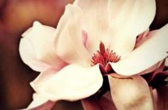 Magnolia Blossom by OR Photography