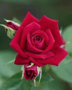 #Hybridtearoses Beautiful Rose Flowers, Unusual Flowers, Romantic Roses, Flowers Nature, Red Flowers, Beautiful Flowers, Rose Reference, Flower Meanings, Coming Up Roses