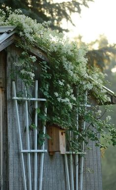 Birdhouse and sweet autumn clematis on the garden shed.