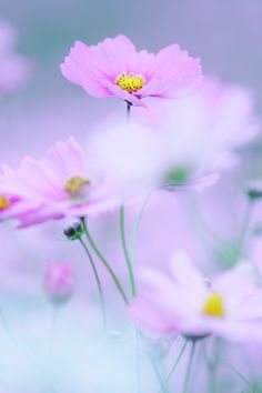Cosmos Flowers, Flowers Nature, Exotic Flowers, Small Flowers, Wild Flowers, Beautiful Flowers, Flower Background Wallpaper, Cute Wallpaper For Phone, Background Pictures